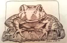 Pencil study of Giant Barred Frog