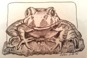 Penicl study of Giant Barred Frog